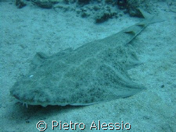 Angel shark in the waters of Tenerife island. by Pietro Alessio