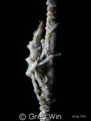 Xeno Crab. Taken with Canon G9, Single Inon Z240 strobe a... by Greg Win