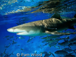 Lemon Shark shot at Tiger Beach near Grand Bahamas by Pam Wood