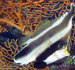 Pennant Bannerfish by Martin Dalsaso