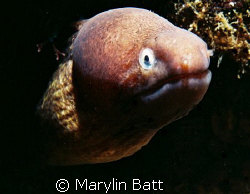 Small Morey Eel 