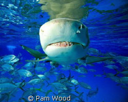 "Just ""Say Cheese""!  Lemon Shark shot at Tiger Beach, Baha... by Pam Wood"