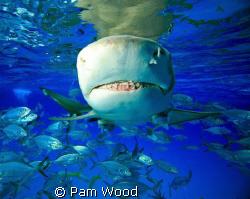 """Just """"Say Cheese""""!  Lemon Shark shot at Tiger Beach, Baha... by Pam Wood"""