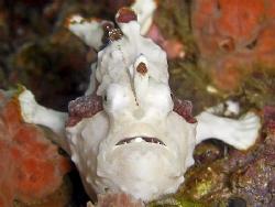 Froggie near twin rocks off anilao, Philippines. Casio ex... by Andrew Macleod