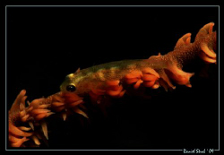 Whipcoral-gobie during a night dive in Alona. Great fun, ... by Daniel Strub