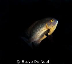 midnight snapper on apo island by Steve De Neef