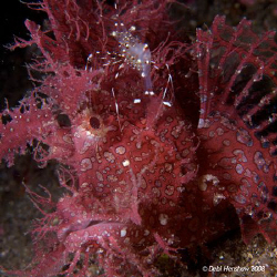 """""""At The Barbers""""  caught this gorgeous Lacy Scorpion fish... by Debi Henshaw"""