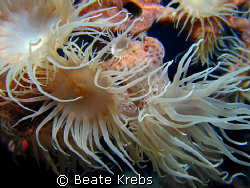 Gorgonian wrapper, leopard anemone, Canon S70 , Macro Lens by Beate Krebs