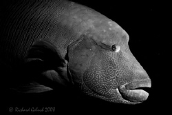 Napoleon Wrasse-Palau-Just Plain by Richard Goluch