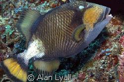 Titan triggerfish by Alan Lyall