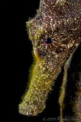 Moluccen Seahorse (Hippocampus moluccensis) by Michael Henke