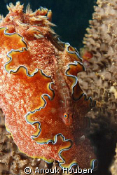 A goby blends in perfectly with the nudibranch, Chromodor... by Anouk Houben