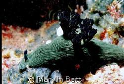 Nembrotha milleri, Atlantis Resort Nikonos V 1:2 macro f... by Marylin Batt