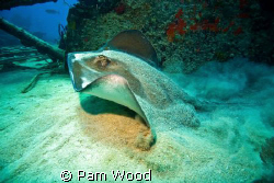 I was diving at a wreck site in Bimini when I came upon t... by Pam Wood