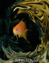 red sea anthias by John Naylor