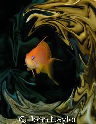 red sea anthias by John Naylor