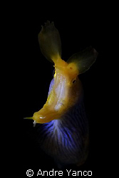 This blue ribbon eel was sticking out of hole which made ... by Andre Yanco