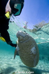 Self portrait with a baby manatee in Crystal River by Becky Kagan