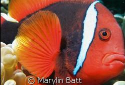 Beautiful tomatoe Clown Posed so well. Atlantis Resort. ... by Marylin Batt