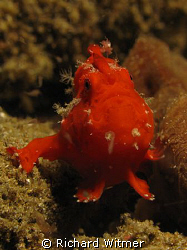 Red frogfish.  Anilao, Philippines.  Canon G9/Ikelite DS ... by Richard Witmer