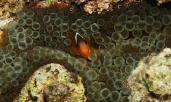 Nemo in purple tipped anenome. by Ron Monaco