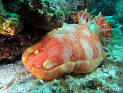 Djibouti giant (Hexabranchus sanguineus) one of the world... by Marco Faimali