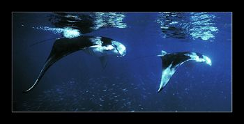 The smoothness and grace with which these mantas glide th... by Johannes Felten