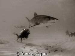 Swimming with Danger! A friend swims alongside a large 12... by Becky Kagan
