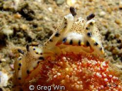 Spot-Edged Dermatobranchus feeding on Dendronephthya sp. ... by Greg Win