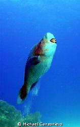 I feel pretty, Oh, so pretty! Supermale parrot fish.  Ca... by Michael Canzoniero