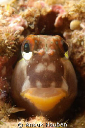 Teardrop blenny close up. Picture taken on the second ree... by Anouk Houben