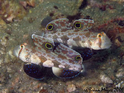 These Signal Gobies (Coryphopterus signipinnis) were real... by Brian Mayes