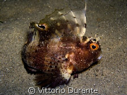 Blennius ocellaris by Vittorio Durante