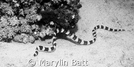 Banded sea snake, Atlantis resort. Nikonos V 28mm lense, ... by Marylin Batt