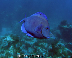 A Blue Tang on a Night Dive in Samana , Dominican Republic. by Tony Green