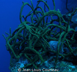 """Tangled Up In Blue""      -A rope sponge bush on one of t... by Jean-Louis Courteau"