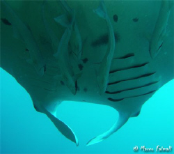 Sixth remoras under!  (Manta birostris and some fish fr... by Marco Faimali