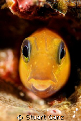 Little blenny. by Stuart Ganz