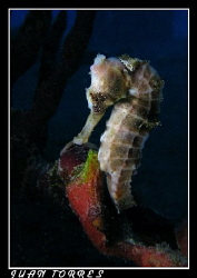 White Sea Horse at the Frederiksted Pier in St. Croix by Juan Torres