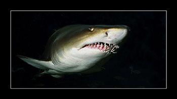Ragged Tooth Shark. Soth Africa. Nik. V 15mm 200w strobe by Johannes Felten