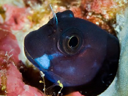 """""""Blenny"""" The trip to the maldives was planned for wideang... by Henry Jager"""