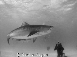 Getting the shot! A beautiful female tiger shark swims by... by Becky Kagan