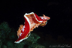 Hexabranchus sanguineus - Nikon D300, FISHEYE 16mm, 2xDS125 by Michael Henke