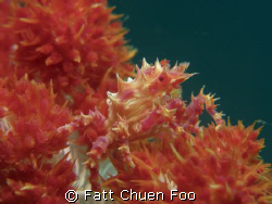Candy Crab, Anilao, Philipines by Fatt Chuen Foo