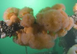 Plumose anemone's. Cornwall. D200, 16mm. by Derek Haslam