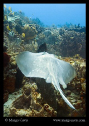 Ray swimming over coral (& a dark grouper - can you see i... by Margo Cavis