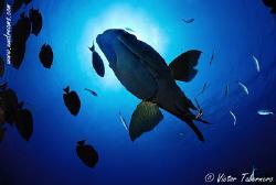 The Napoleon, a fantastic fish! by Victor Tabernero
