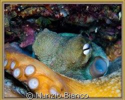 Octopus   Nikon D80 with Nikkor 60mm lens in a D80 Hous... by Nunzio Bianco