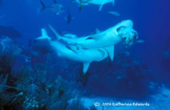 2 caribbean reef sharks fight it out for the remaining pi... by Katherine Edwards