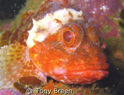 Dwarf Scorpion fish on Okiparu reef just off Motiti Islan... by Tony Breen
